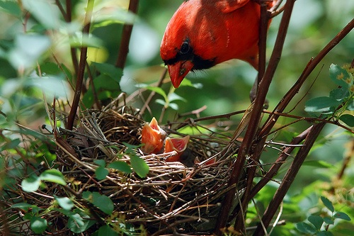Cardinal feeding chicks.jpg